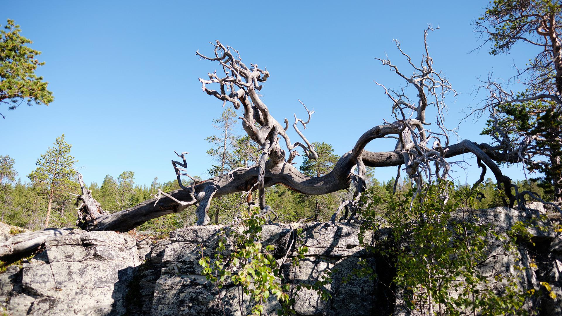 Dry pine tree.