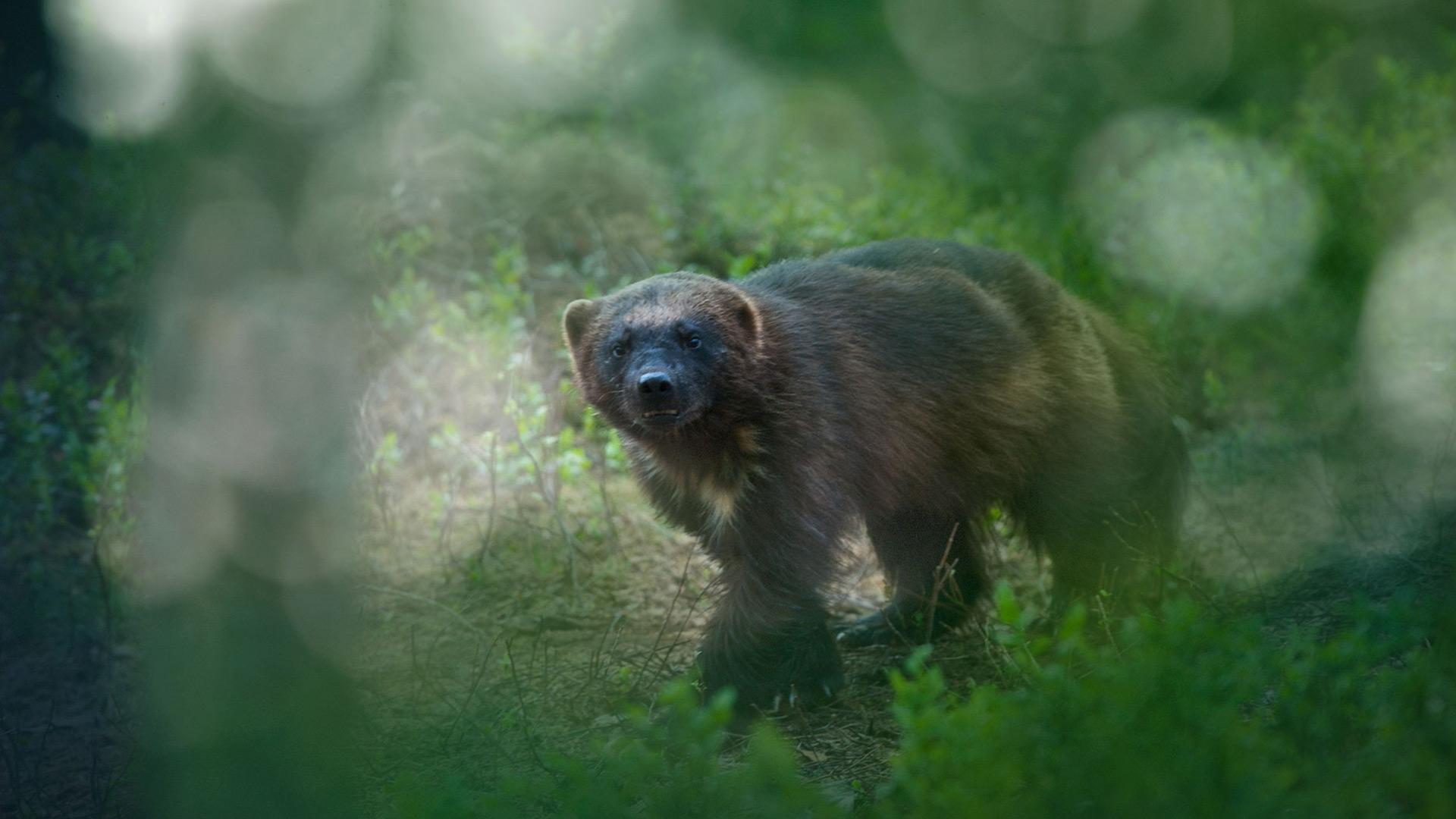 A wolverine.