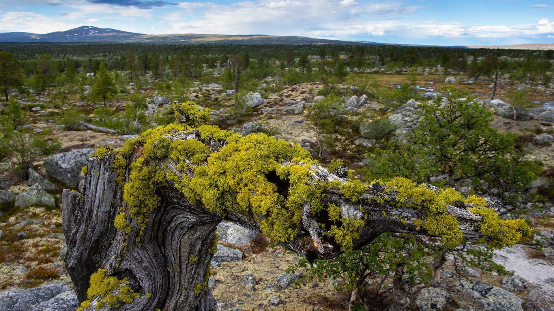 Wolf lichen.