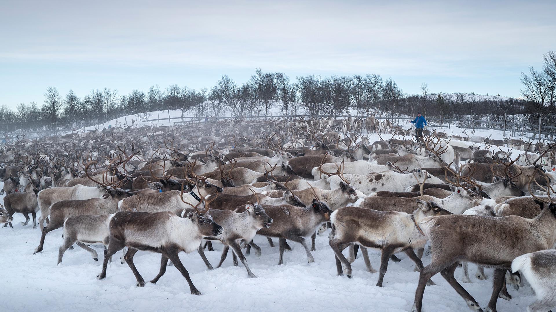 Reindeers.