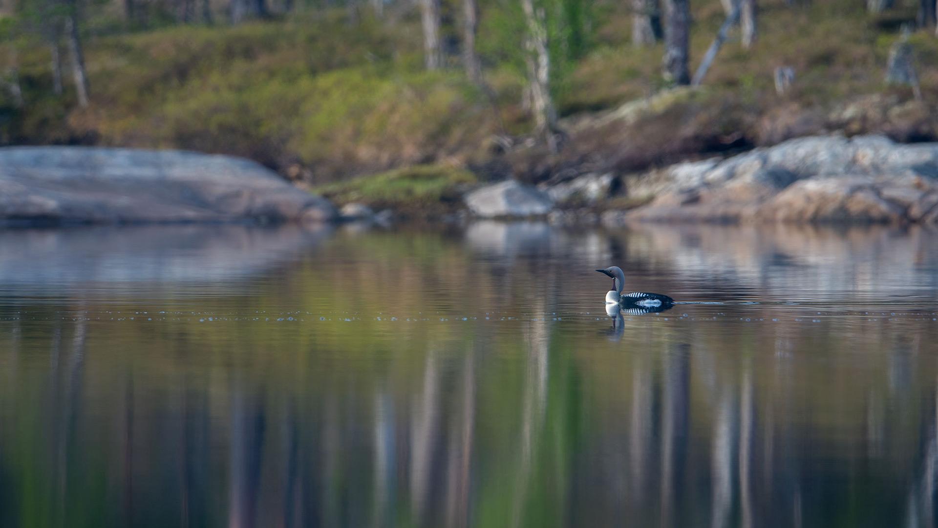 Bird on water.