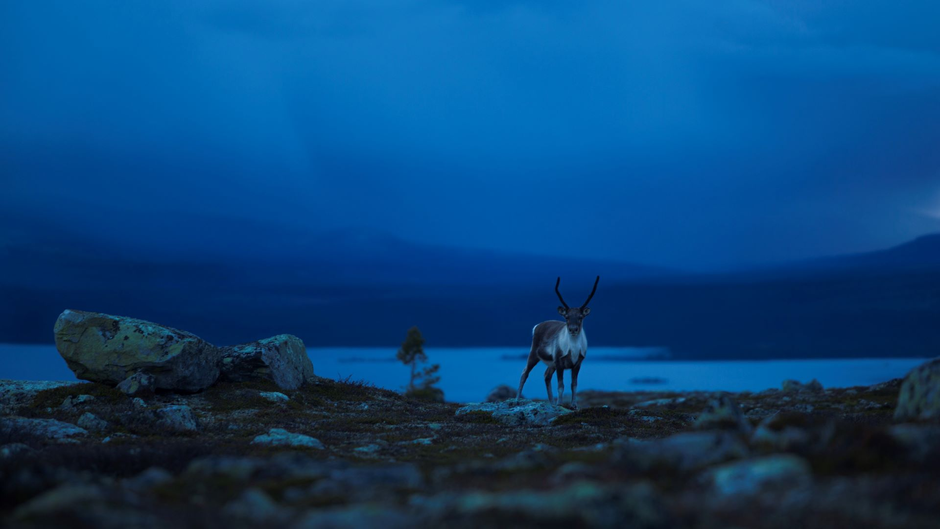 Reinsdyr. Foto: Jannicke Angvik